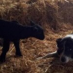 Sheep Dog and lambs Caherconnell